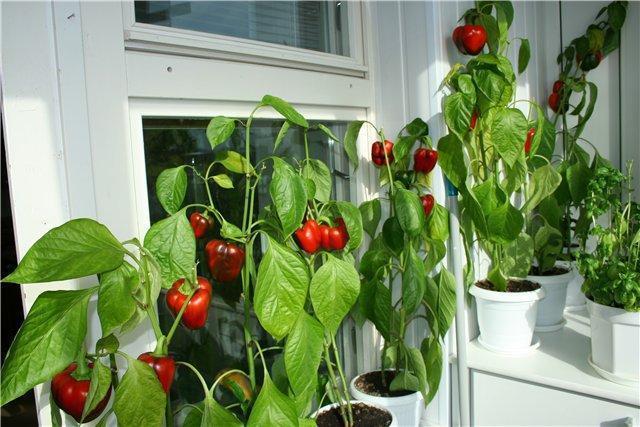 Что можно вырастить в домашних условиях? Советы по выращиванию зелени, овощей, фруктов. Плюсы