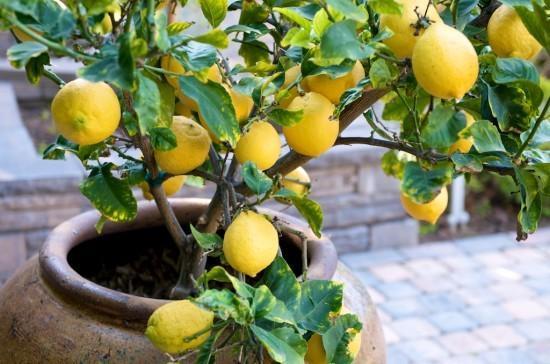 Как правильно вырастить лимоны в домашних условиях?