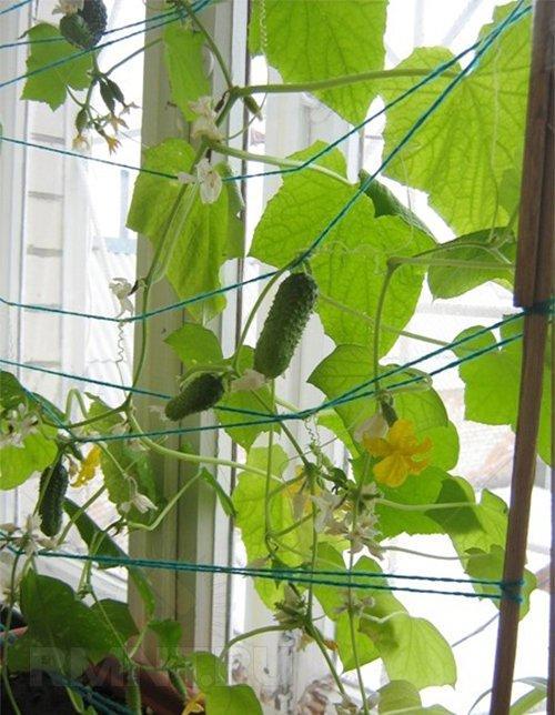 Как правильно вырастить огурцы в домашних условиях?