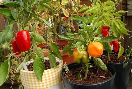 Как правильно вырастить перец в домашних условиях?