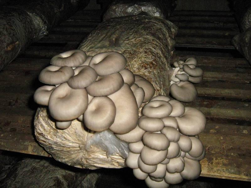 Как выращивать грибы вешенки в домашних условиях?