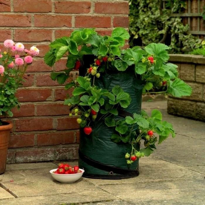 Как выращивать клубнику круглый год в домашних условиях?
