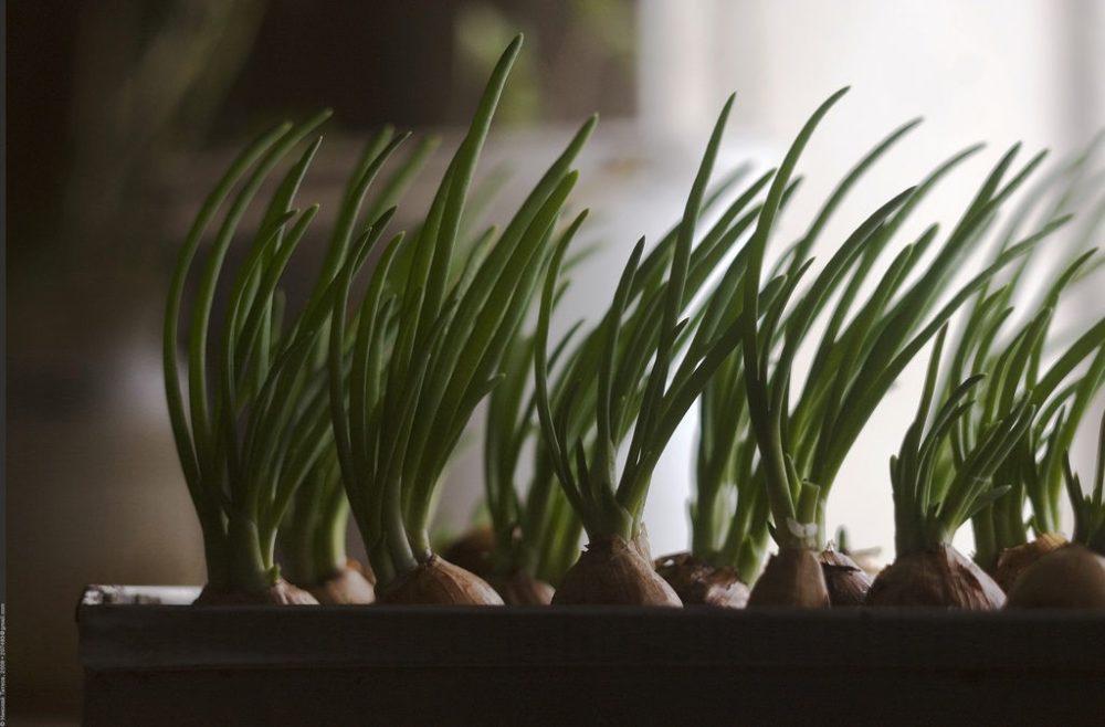 Как вырастить хороший лук? Советы огородникам