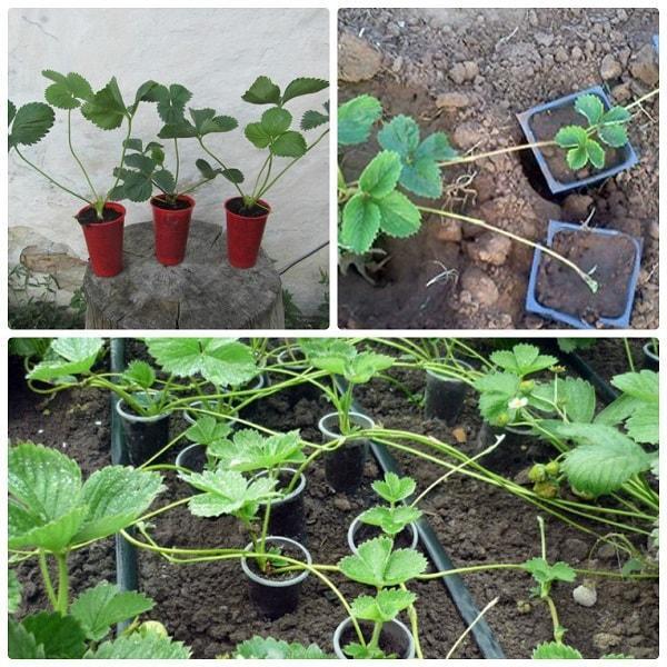 Клубника королева Елизавета: описание сорта, фото, отзывы. Как посадить, ухаживать, выращивать?