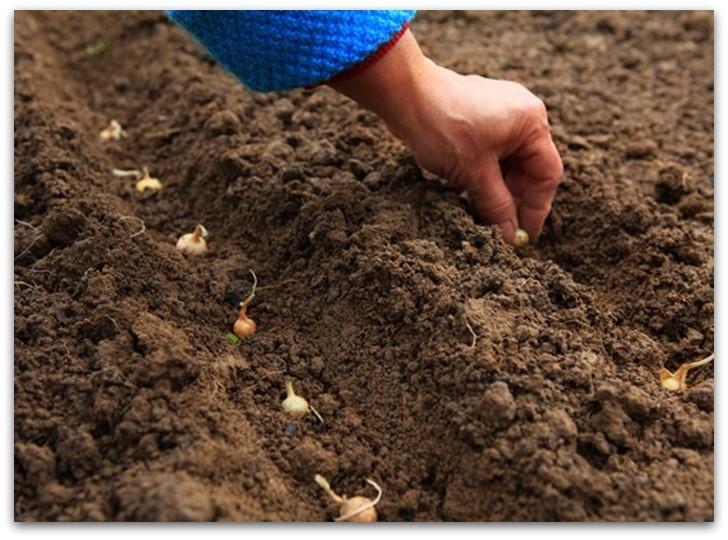 Посадка лука-севка в открытый грунт